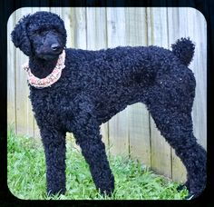 Our Standard Poodle....she is the BEST!!!