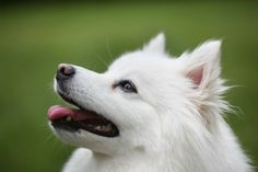 american eskimo dog 6 Facts You Didn& Know About the American Eskimo Dog – American Kennel Club Source by shazferguson The post 6 Facts You Didn& Know About the American Eskimo Dog – American Kennel Club appeared first on McGregor Dogs. Miniature American Eskimo, American Eskimo Puppy, Australian Shepherd Training, Australian Shepherd Dogs, Blue Merle, Spitz Puppy, Miniature Dog Breeds, Husky, Japanese Spitz