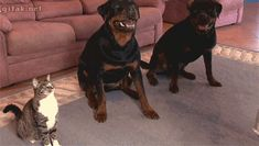 funny cat and dogs gif. more here