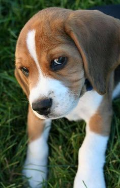 The beagle is a breed of hunting dog that has been a popular human companion for centuries. The dog is one of the most popular breeds in the United States