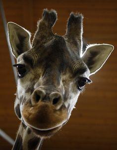 Una giraffa dello zoo di Praga (AP Photo/Petr David Josek)