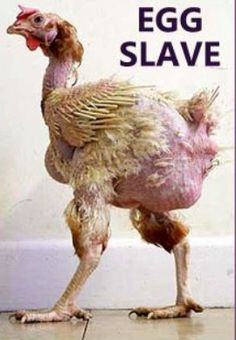 ~  this picture is inaccurate in that they don't even have room to stand in those battery cages!