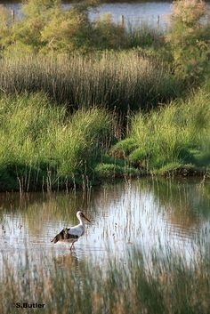 white stork Doñana,Huelva  Spain