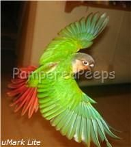 Clipping your birds wings, wing clipping your parrot, free flight parrots, African Grey, Congo African Grey, Yellow Sided Green Cheek, abundance weaning, flying your parrot