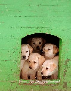 Adorable Yellow Labrador Puppies AN UNDERSTATEMENT, SO PRECIOUS AND BEAUTIFUL!!!! DEAN