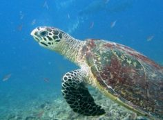 Applaud New Protections for Threatened Turtles