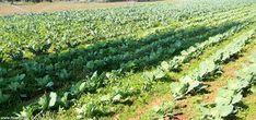 Ημερολόγιο σποράς και φυτέματος λαχανικών και εποχή συγκομιδής τους ανά μήνα Sky Garden, Garden Guide, Athens, Vineyard, Plants, Outdoor, Gardening, Cyprus, Organizing