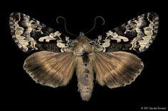 Salt-and-pepper Looper Moth (Syngrapha rectangula) - Lac Bonin, Quebec - July 6, 2007