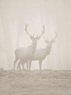 Natuur foto: Cervus elaphus / Edelhert / Red Deer