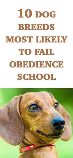 The 10 Dog Breeds Most Likely To Fail Obedience School.... LOL I'd add huskies to this list! http://iheartdogs.com/the-10-most-stubborn-dog-breeds/