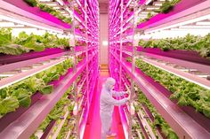 Worlds Largest Indoor Farm Switches On In Japan