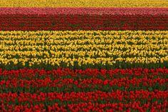 Festival Tulip Tanto di Toyooka, Jepang