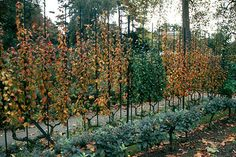 The fine art of espalier. frenchgardening.com