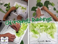"""Chlorophyll rubbings during our plant unit. After learning about how a plant makes it's own food we """"painted"""" with chlorophyll!  Blog post with LOTS of creative and fun ideas for getting kids writing about science while teaching about the life cycle of plants.  Also includes FREE printable anchor charts for photosynthesis and parts of a plant."""