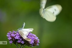 Cabbage butterfly by Hidemi Katayama on 500px