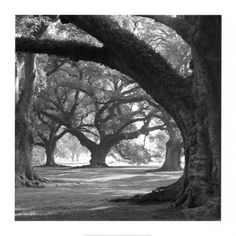 I love big old trees. This is a print I would consider buying.