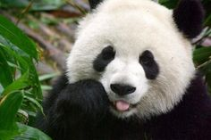 say 'hi' to Mr.Panda