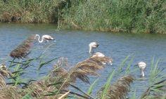 Flamingos in der Lagoa dos Salgados