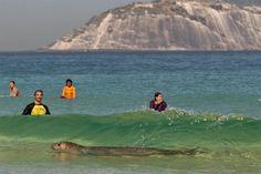 Elefante-marinho aparece no Arpoador e viraliza. Veja o vídeo da ilustre visita - GreenMe.com.br Me Me Me Song, Waves, Painting, Life, Outdoor, Types Of Animals, Baby Pets, Rio De Janeiro, Viajes