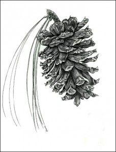 ponderosa pine cone - Google Search