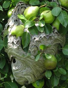 hornets nest | ... Pesty Neighbors from stealing fruit with a Decoy Hornet's Nest