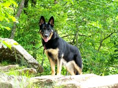 Our German Shepherd Gia