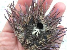 Dead sea urchin with teeth showing