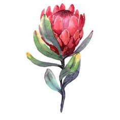 Hand-drawn watercolor illustration of red protea flower. Exotic tropical and colorful blossom of beautiful flower. Isolated on the white background Royalty free image illustration Flor Protea, Protea Art, Protea Flower, Watercolor Pictures, Watercolor Flowers, Watercolor Paintings, Watercolours, Illustration Blume, Watercolor Illustration