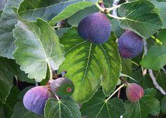 My Fig Tree Photograph  - My Fig Tree Fine Art Print