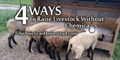 4 Ways to Raise Livestock Without Chemicals | An American Homestead - Living Off Grid in the Ozark Mountains