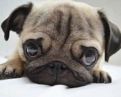 Baby Pug - Tap the pin for the most adorable pawtastic fur baby apparel! You'll love the dog clothes and cat clothes! <3