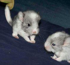 Baby chinchillas