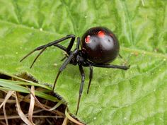 Poisonous & Venomous Spiders, Brown Recluse, Black Widow, Most Poisonous Spiders & Images Spider Pictures, Spiders And Snakes, Scary Spiders, Reptiles, Lizards, Amphibians, Brown Recluse, Black Widow Spider, Insect Photography
