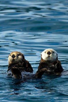 Sea otters hold hands while they sleep so that they won't float away from each other in their sleep! One day everyone will find their OTTER half. Love otters, fun and playful! (Always Happy) Amor Animal, Mundo Animal, Baby Animals, Funny Animals, Cute Animals, All Gods Creatures, Sea Creatures, Beautiful Creatures, Animals Beautiful