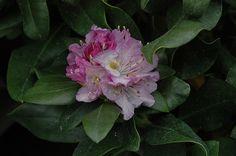 Minnetonka Rhododendron (Rhododendron 'Minnetonka') at Connon Nurseries CBV