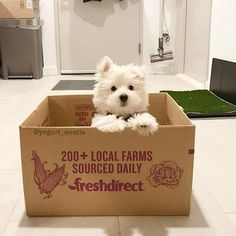 DM me your westies picture for feature 🐶 - 📷Credit via Westies, Westie Puppies, Cute Puppies, Dogs And Puppies, Chihuahua Dogs, Pet Dogs, Doggies, West Highland Terrier, Highlands Terrier