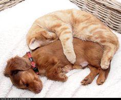 Dachshund Puppy And Kitty Cuddle