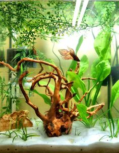 20 gallon tank, live and plastic plants, wood, sand, rocks, good betta tank. Your betta will display beautiful swimming, flaring and exploring behavior in these larger tanks that you may not see when they are kept in smaller habitats...