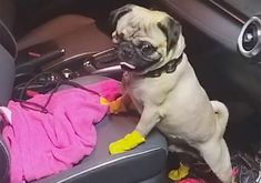In yellow boots, goggles and a fluorescent green raincoat, Harley the pug strolls through a coronavirus hospital, providing emotional support to staff.