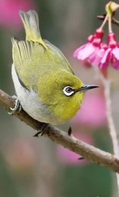 # bird # Pretty Birds, Love Birds, Beautiful Birds, Exotic Birds, Colorful Birds, South African Birds, Bird Identification, Kinds Of Birds, White Eyes
