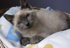 Lucine is an adoptable Siamese Cat in Montreal, QC. Lucine est un chaton siamois croisé, femelle, âgés de 5-6 mois environ, de couleur ''blue point''. Elle n'est pas dégriffés et polydactyle. Elle s'...
