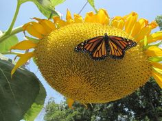 Sunflowers, great for the butterfly garden, are prolific with flowers and later seeds. Yours are probably hanging their heads by now. Here's how to harvest the sunflower seeds for your bird feede. Mammoth Sunflower, Giant Sunflower, Sunflower Garden, Sunflower Types, Tall Plants, Garden Inspiration, Vegetable Garden, Gardening Tips, Outdoor Gardens
