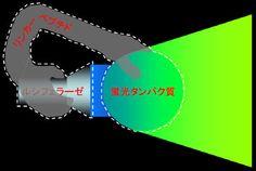 (発光蛋白質)自己励起蛍光タンパク質の概念図