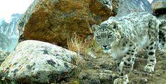 Snow leopard. (Credit Panthera & FFI).