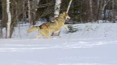 Grey wolf running through the snows of Winter