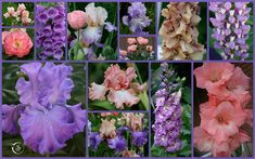 TALL BEARDED IRIS AND COMPANION PLANTS FROM MY FLOWER BEDS - Sowing the Seeds