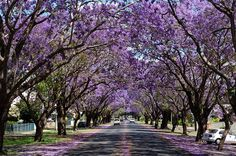 http://www.weekendnotes.com/im/000/05/jacaranda-festival-spring-festival-things-to-do-in1.jpg