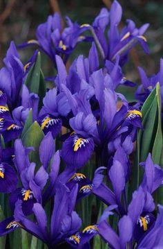 Iris reticulata Fotografia de John Glover, uno de los primeros y de los mas importantes fotografos de jardin del Reino Unido
