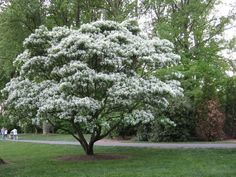 Trees for small space gardening- Chinese Fringe Tree Backyard Trees, Landscaping Trees, Front Yard Landscaping, Small Garden Trees, Tree Garden, Landscaping Design, Trees To Plant, Drought Tolerant Trees, Fringe Tree