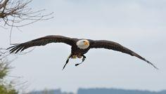 Park, Birds In Flight, Bald Eagle, Animals, Animales, Flying Birds, Animaux, Parks, Animal